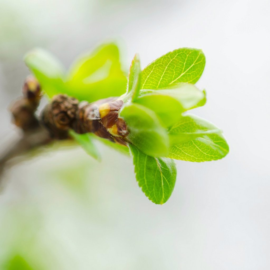Close up of green buds ad leaves on branch : Stock Photo