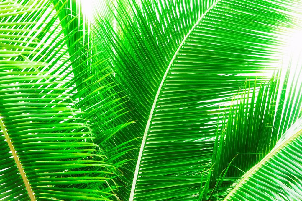 Stock Photo: 1795R-72900 Palm leaves