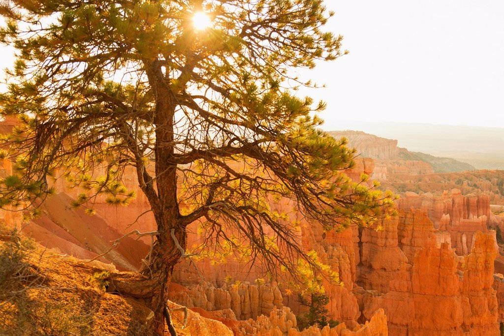 Bryce Amphitheater, Sun shining through tree : Stock Photo