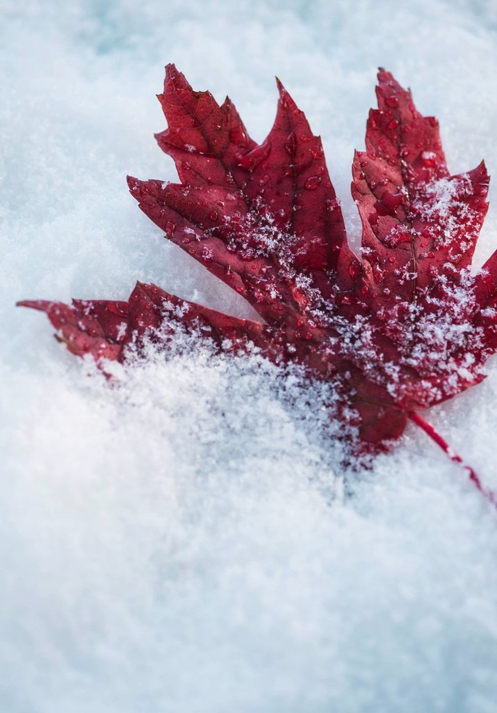 Stock Photo: 1795R-77486 Studio shot of red maple leaf on artificial snow