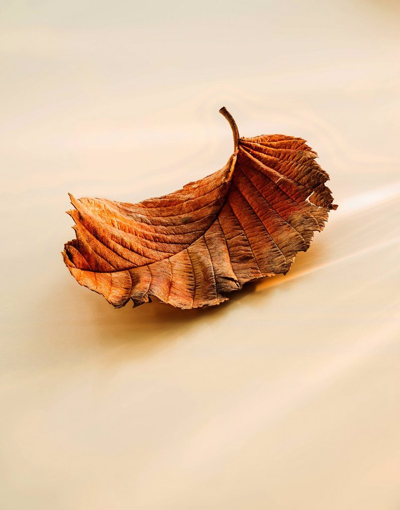 Stock Photo: 1795R-77742 Close_up of brownish leaf