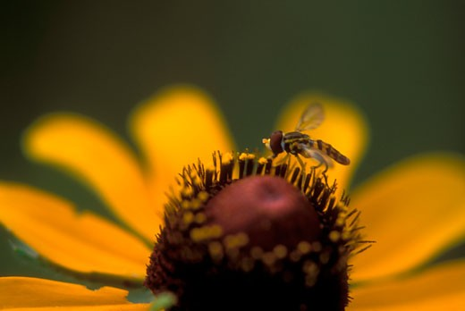 Close-up of a hoverfly pollinating a Black-Eyed Susan (Rudbeckia hirta) flower : Stock Photo