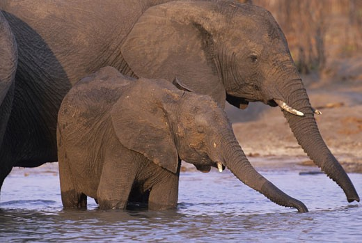 African elephant (Loxodonta africana) drinking water with its calf at a waterhole, Linyanti Wildlife Reserve, Chobe National Park, Botswana : Stock Photo