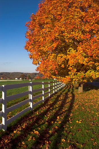 Stock Photo: 1799R-26684 Sugar maple tree near a fence in a field, Worthington Valley, Maryland, USA