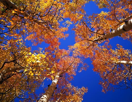Low angle view of aspen trees, Arapaho National Forest, Colorado, USA : Stock Photo