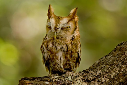 Close-up of a Screech owl, Hocking Hills State Park, Ohio, USA : Stock Photo