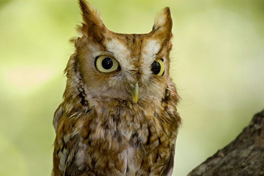 Stock Photo: 1799R-4409 Close-up of a Screech owl, Hocking Hills State Park, Ohio, USA