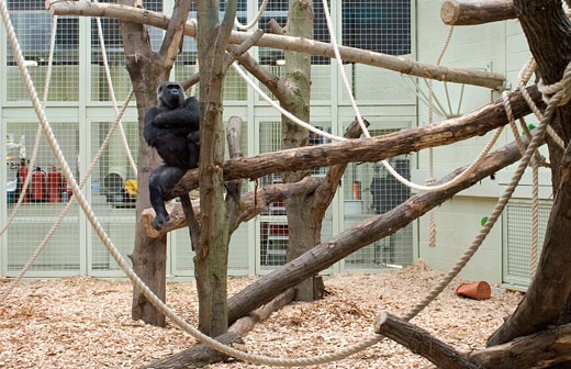 GORILLA KINGDOM, LONDON ZOO, REGENTS PARK, LONDON, NW1 CAMDEN TOWN, UNITED KINGDOM, GORILLA RELAXING IN A TREE, PROCTOR MATTHEWS ARCHITECTS : Stock Photo
