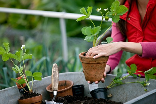 Stock Photo: 1804R-19276 A woman potting strawberry plants