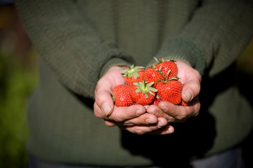 Stock Photo: 1804R-19423 A man holding a handful of strawberries, close-up