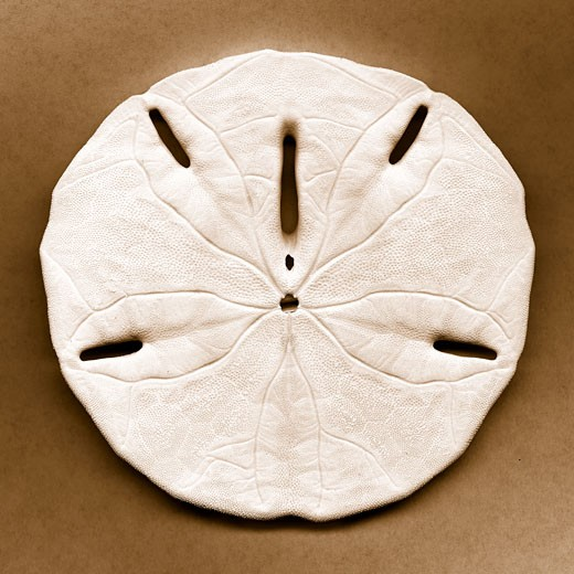 Sand dollar by John Kuss : Stock Photo