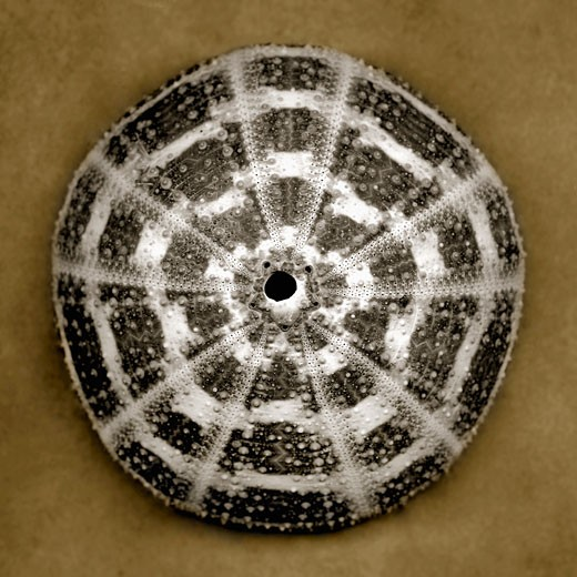 Stock Photo: 1805-214 Sea Urchin Shell by John Kuss, Photograph