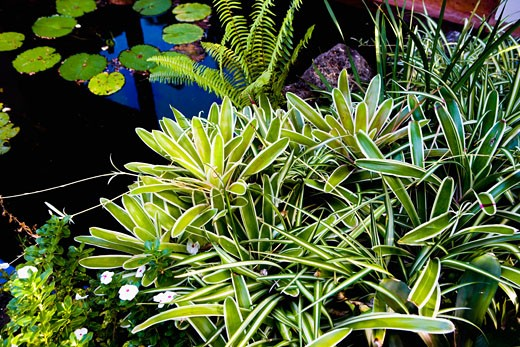 Tropical Plant life and Pond with Lilly Pads : Stock Photo