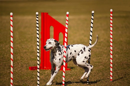 Dalmatian on slalom run : Stock Photo