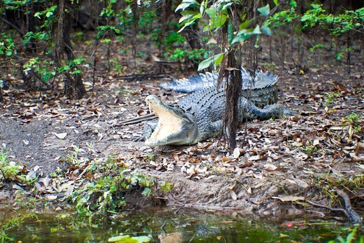 Stock Photo: 1807-396 Australian Saltwater crocodile (Crocodylus porosus) in a forest, Yellow Water, Kakadu National Park, Northern Territory, Australia