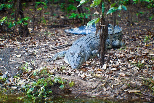 Stock Photo: 1807-397 Australian Saltwater crocodile (Crocodylus porosus) in a forest, Yellow Water, Kakadu National Park, Northern Territory, Australia