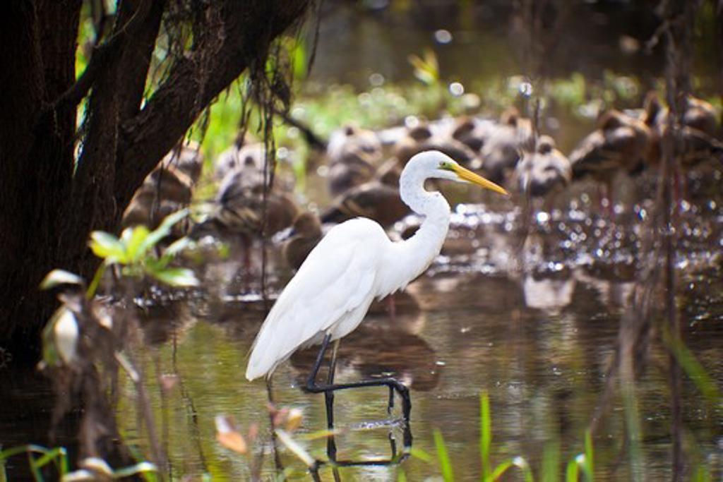 Great egret (Ardea alba), Kakadu National Park, Northern Territory, Australia : Stock Photo