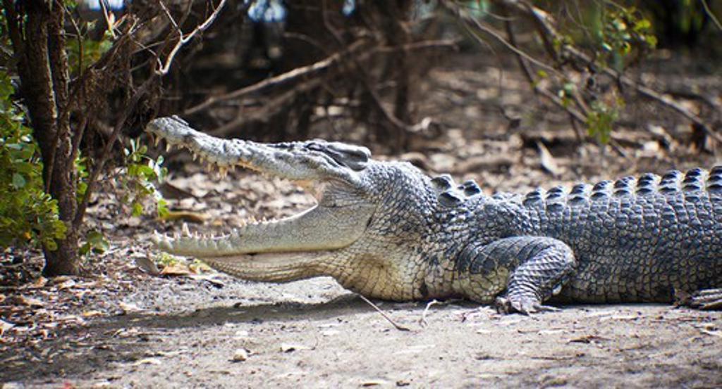 Australian Saltwater crocodile (Crocodylus porosus) in a forest, Yellow Water, Kakadu National Park, Northern Territory, Australia : Stock Photo