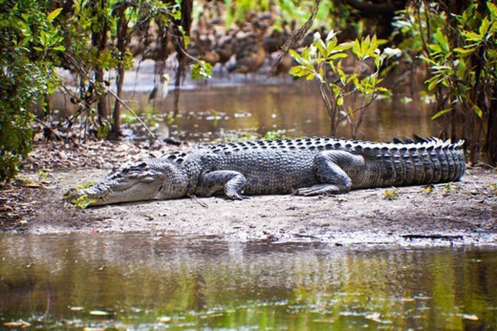 Stock Photo: 1807-407 Australian Saltwater crocodile (Crocodylus porosus) in a forest, Yellow Water, Kakadu National Park, Northern Territory, Australia