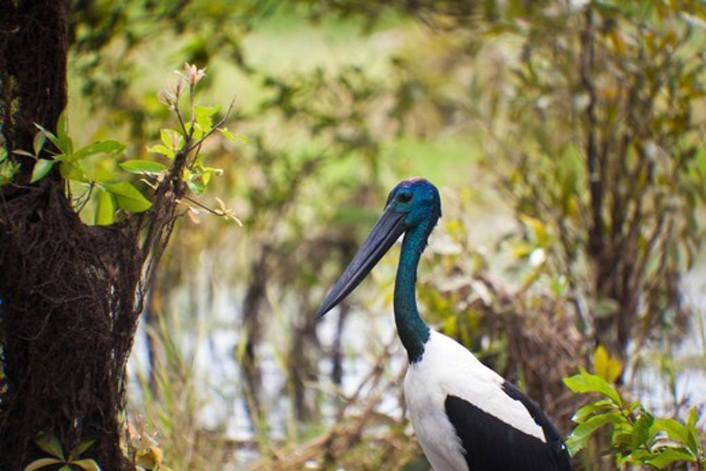 Close-up of a Black-Necked Stork (Ephippiorhynchus asiaticus), Yellow River, Kakadu National Park, Northern Territory, Australia : Stock Photo