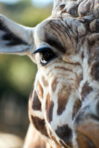 Stock Photo: 1807-455 Giraffe close-up
