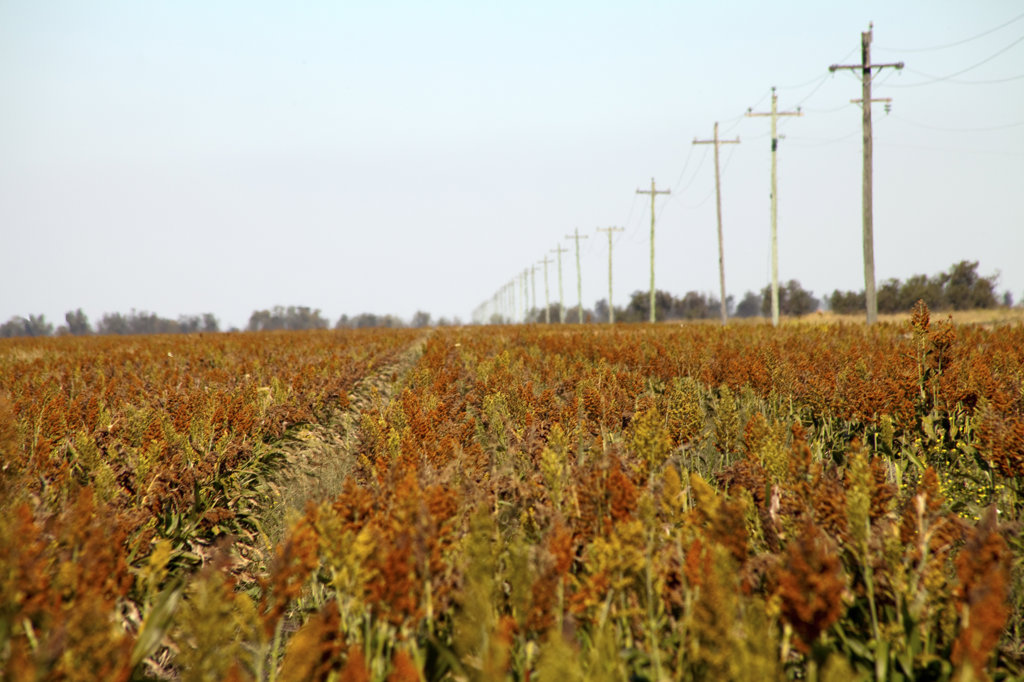 Stock Photo: 1807R-235 Corn field with telegraph posts