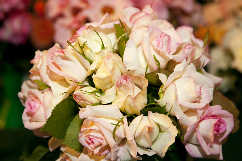 Stock Photo: 1807R-275 Close-up of a bouquet of roses