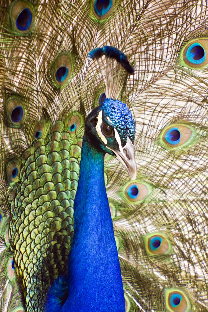 Close-up of an Indian peafowl (Pavo cristatus) head : Stock Photo