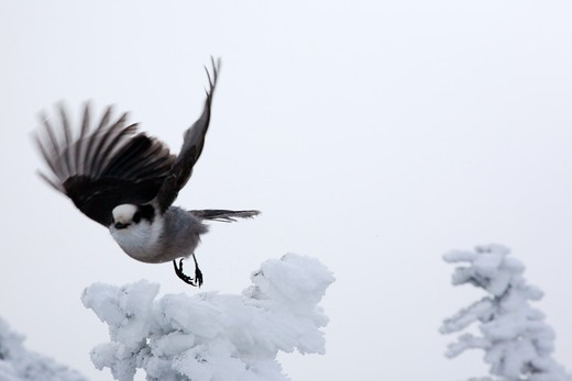 A gray jay on the summit of Mount Liberty during the winter months in the White Mountains, New Hampshire USA : Stock Photo