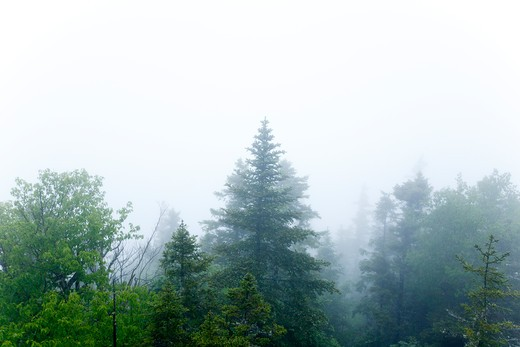 Stock Photo: 1809-12713 Forest engulfed by fog along Iron Mountain Trail during the summer months. Located in the White Mountains, New Hampshire USA. Iron Mountain Trail leads to Iron Mountain
