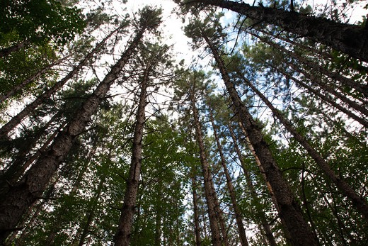 Canopy of Red Pine Forest ( Pinus resinosa ) during the summer months in Albany, New Hampshire USA : Stock Photo
