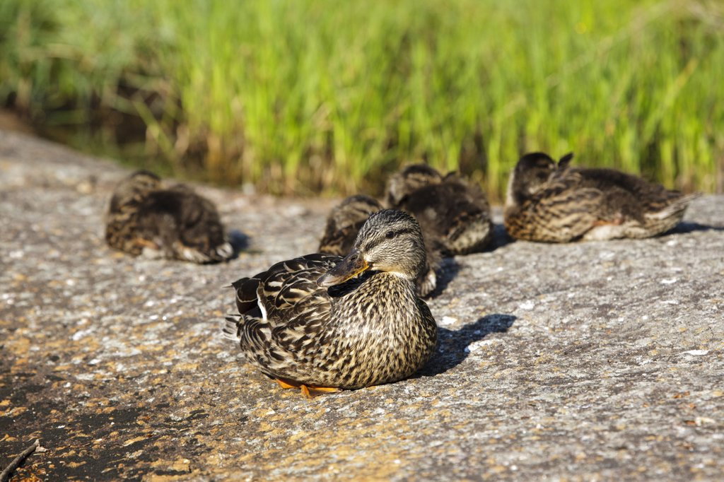 Kinsman Notch - Family of mallard ducks at Beaver Pond in the White Mountains, New Hampshire USA during the spring months : Stock Photo