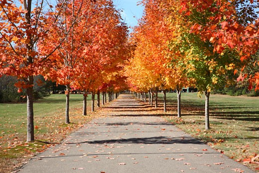 Stock Photo: 1809-2414 Maple Tree Forest