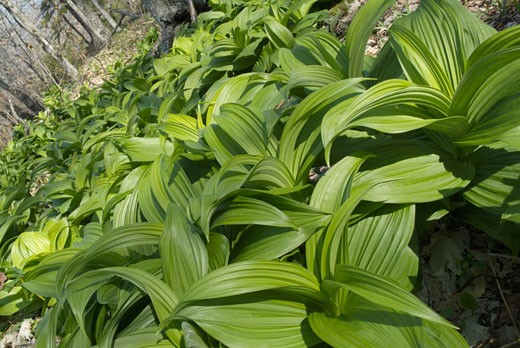Indian Poke Veratrum veride : Stock Photo