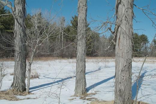 Stock Photo: 1809-2943 Shagbark Hickory Tree-Carya ovata