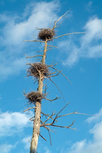 Stock Photo: 1809-2982 Blue Heron Nests