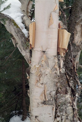 Birch Tree : Stock Photo