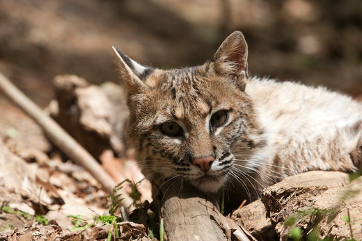 Bobcat - Lynx rufus - This Bobcat is in captivity at Squam Lakes Natural Science Center in Holderness, New Hampshire USA and like most animals at the science center it is injured or unable to survive in the wild : Stock Photo