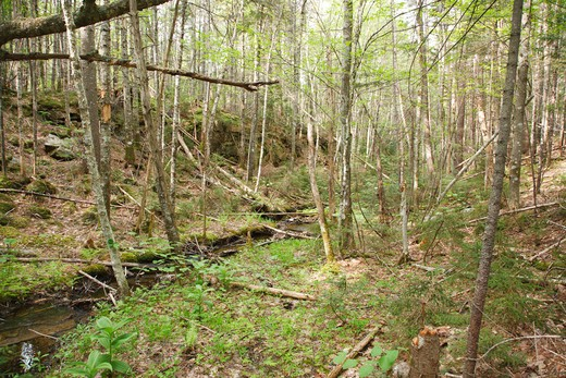 Stock Photo: 1809-6506 East Branch & Lincoln Railroad - A timber treslte was needed to cross this small gully near Camp 22 in the Thoreau Falls Valley of the Pemigewasset Wilderness in Lincoln, New Hampshire USA. This was a logging railroad which operated from 1893 - 1948