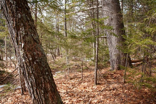 Eastern White Pine tree (Pinus strobus) with an 121 inch circumference on the river bank of the East Branch of the Pemigewasset River in the Pemigewasset Wilderness of the White Mountains, New Hampshire USA : Stock Photo