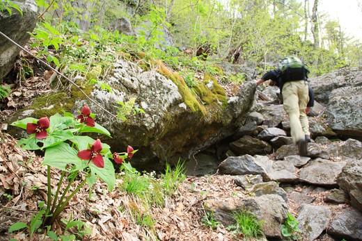 Red Trillium- Trillium erectum-during the spring months at Rumney Rocks in Rumney, New Hampshire USA : Stock Photo