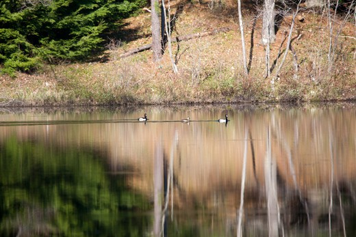 Reflection of forest in a New Hampshire pond forest during the summer months : Stock Photo