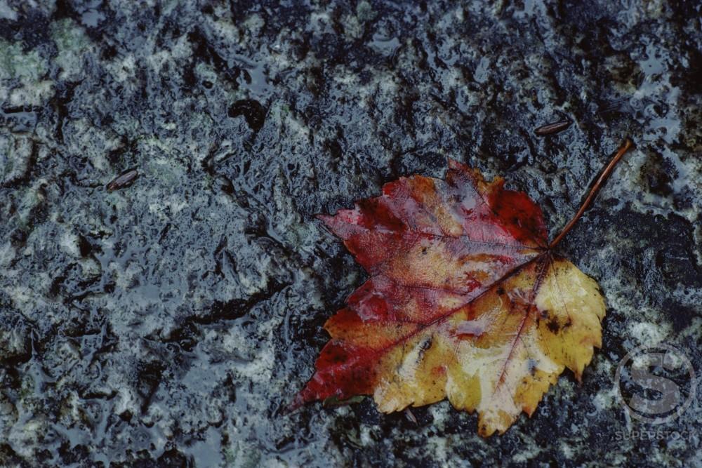 Stock Photo: 181-1871 Maple Leaf