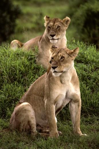 Stock Photo: 181-2161 Lionesses  Masai Mara Game Reserve Kenya