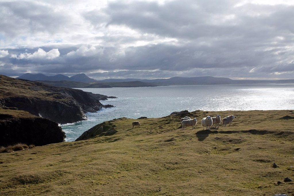 Stock Photo: 1812-10580 Horn Head, Co Donegal, Ireland, Sheep on the cliff by the Atlantic Ocean