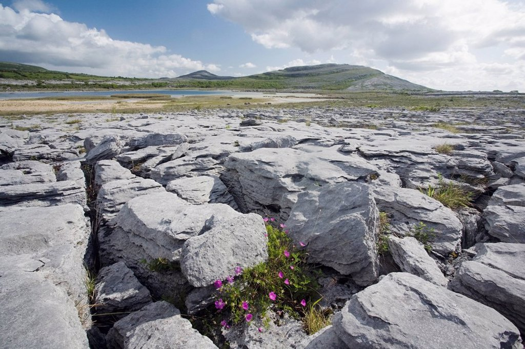 Bloody cranesbill growing amongst limestone in The Burren, County Clare, Ireland : Stock Photo