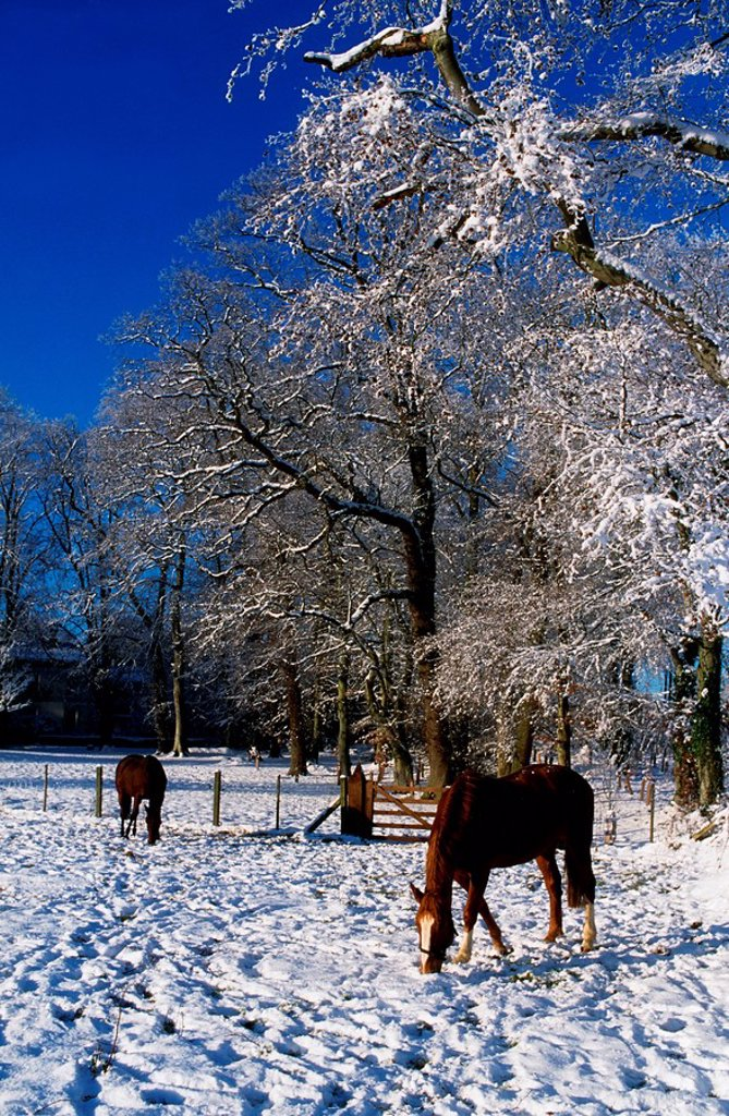 Thoroughbred Horses, Mares In Snow, Ireland : Stock Photo