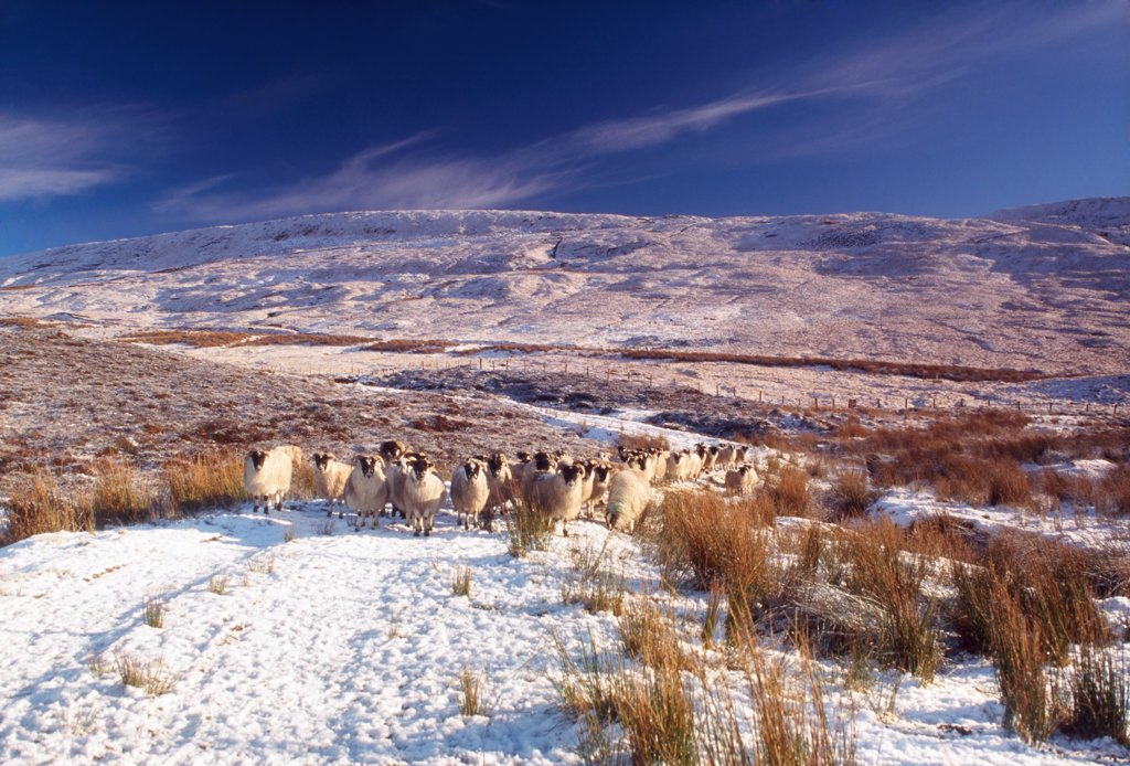 Stock Photo: 1812-15937 Sheep In Snow, Glenshane, Co Derry, Ireland