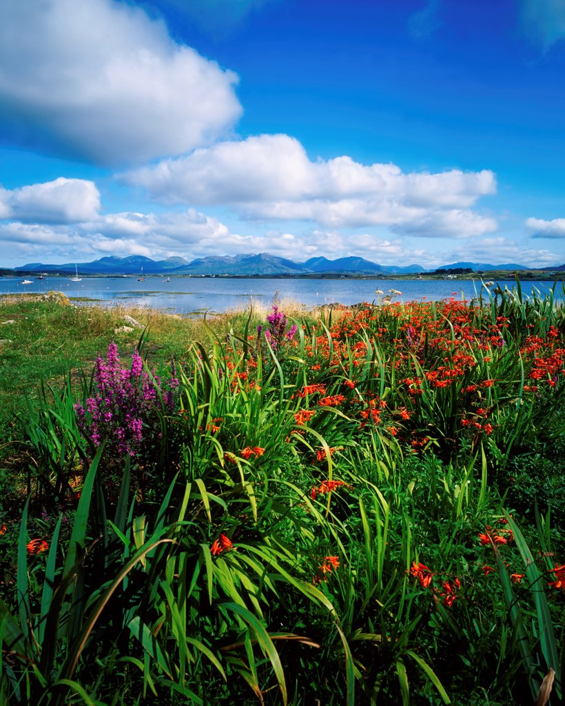 Wildflowers At Roundstone, Connemara, Co Galway, Ireland : Stock Photo