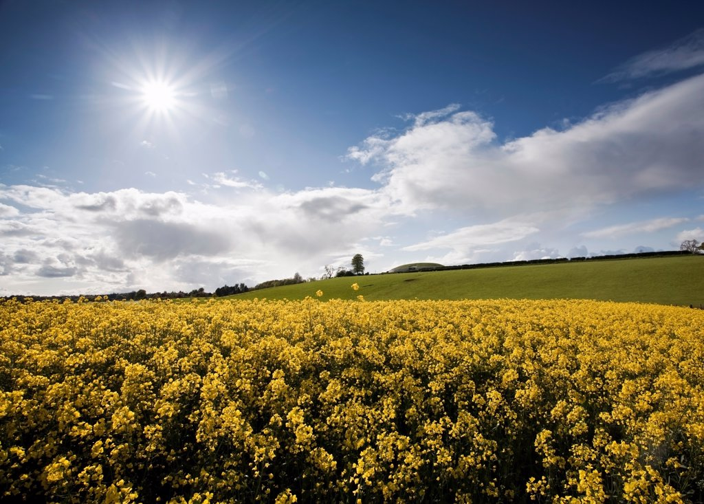 Stock Photo: 1812-18496 Yellow Rapeseed Field, Newgrange, County Meath, Ireland